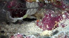 Black-margined damsel hiding, Pomacentrus nigromarginatus, HD, UP28304 Stock Footage