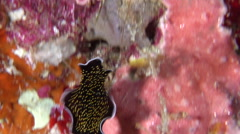 Gold-speckled black flatworm swimming, Thysanozoon nigropapillosum, HD, UP28306 Stock Footage
