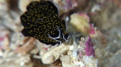 Gold-speckled black flatworm sniffing, Thysanozoon nigropapillosum, HD, UP28309 Stock Footage