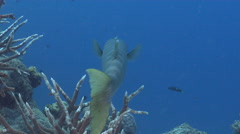 Bicolour cleaner wrasse cleaning and being cleaned on deep coral reef, Labroides Stock Footage