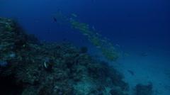 Bigeye snapper swimming and schooling on deep coral reef, Lutjanus lutjanus, HD, Stock Footage