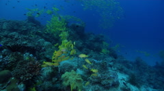 Common bluestripe snapper swimming and schooling on deep coral reef, Lutjanus Stock Footage