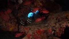 Epaulette soldierfish hiding in cavern, Myripristis kuntee, HD, UP28443 Stock Footage