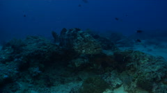 Malabar grouper cleaning and being cleaned on deep coral reef, Epinephelus Stock Footage
