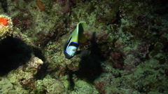 Emperor angelfish feeding in cavern, Pomacanthus imperator, HD, UP28456 Stock Footage