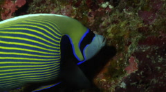 Emperor angelfish feeding in cavern, Pomacanthus imperator, HD, UP28458 Stock Footage