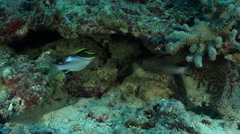 Bridled monocle bream hovering on hard coral microhabitat, Scolopsis bilineata, Stock Footage