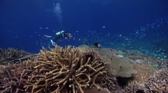 Videographer on shallow coral reef with Blue green chromis Giant table coral in Stock Footage