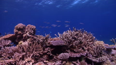 Ocean scenery some wobbles, healthy reef, surge and lots of fish and plate, Stock Footage