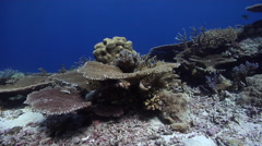 Ocean scenery healthy reef, diversity of plate, staghorn and table corals, on Stock Footage
