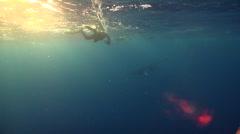 Minke whale swimming in bluewater at sunset, Balaenoptera acutorostrata, HD, Stock Footage