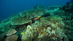 Whitetip reef shark swimming on deep coral reef, Triaenodon obesus, HD, UP28667 Stock Footage