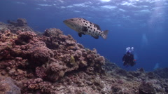 Potato cod swimming on shallow coral reef, Epinephelus tukula, HD, UP28673 Stock Footage