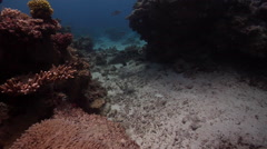 Potato cod swimming on shallow coral reef, Epinephelus tukula, HD, UP28675 Stock Footage