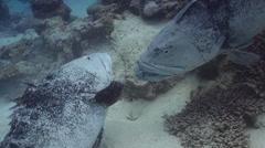Potato cod on shallow coral reef, Epinephelus tukula, HD, UP28691 Stock Footage