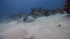 Potato cod on shallow coral reef, Epinephelus tukula, HD, UP28695 Stock Footage