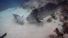Potato cod on shallow coral reef, Epinephelus tukula, HD, UP28701 Stock Footage