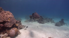 Potato cod swimming on shallow coral reef, Epinephelus tukula, HD, UP28712 Stock Footage