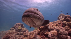 Potato cod cleaning and being cleaned on shallow coral reef, Epinephelus tukula, Stock Footage