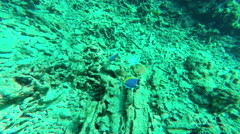 Underwater. two Powder blue surgeons fish target camera. Similan islands. - stock footage