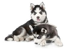 Purebred Husky puppies isolated on white - stock photo