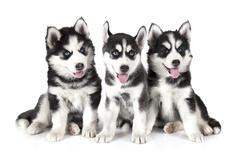 Three Siberian Husky puppies over white Stock Photos