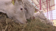 Stock Video Footage of White Cows on a Farm Animals Eat Grass
