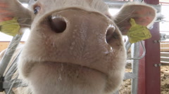 Curious White Cow Sniffing Camera Stock Footage