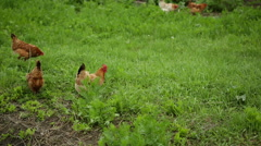 Chickens on traditional free range poultry farm - stock footage