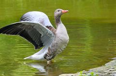 goose with outstretched wings - stock photo