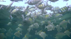 A large school of fish Indo-Pacific sergeant (Abudefduf vaigiensis) Stock Footage