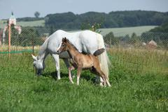 Beautiful shagya arab mare with foal Stock Photos