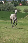 Amazing young horse running on pasturage - stock photo
