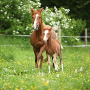 Beautiful mare running with foal - stock photo