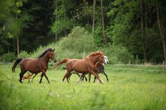 Beautiful herd of horses running together - stock photo