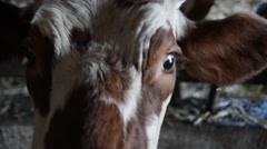 Head of a cow against a pasture Stock Footage