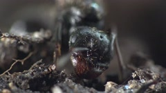 Head of large black ant in garden on ground, insects, macro - stock footage