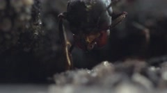 Head of large black ant in garden on ground, insects, macro Stock Footage