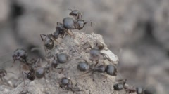 Slow motion,giants ants Swarming on an anthill Stock Footage