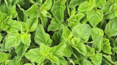 OREGANO IN CLOSE UP MACRO TRACKING SHOT OVERHEAD - stock footage
