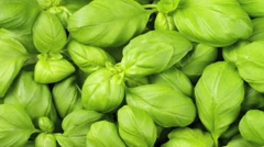 BASIL IN CLOSE UP MACRO TRACKING SHOT OVERHEAD Stock Footage