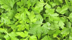 PARSLEY IN CLOSE UP MACRO TRACKING SHOT OVERHEAD Stock Footage