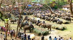 Group of elephant eating fruit at Mae Sa elephant camp Stock Footage