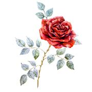 Watercolor red rose - stock illustration