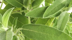 SAGE HERB  IN CLOSE UP TRACKING SHOT  - stock footage