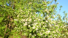 Blooming trees in springtime against blue sky. Stock Footage