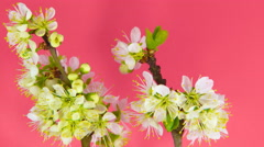 Timelapse sakura on pink - stock footage