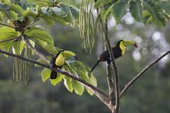Keelbilled Toucan Ramphastus sulfuratos in a tree Heredia Province Costa Rica - stock photo