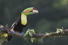 Keelbilled Toucan Ramphastus sulfuratos perched on a branch feeding Heredia - stock photo