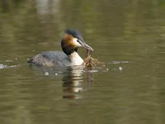 Grebe Podiceps cristatus with crayfish Astacus astacus in water Nettetal North - stock photo
